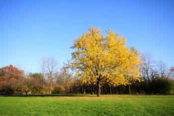 Silver Maple in Autumn