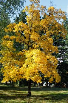 Hickey Tree With Golden Leaves