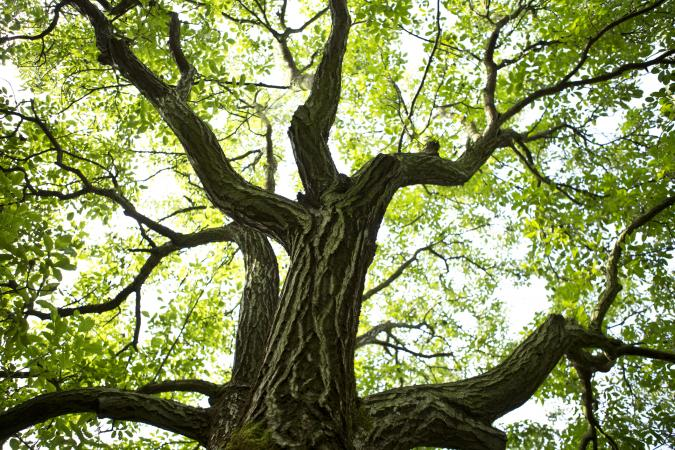 walnut tree trunk and leaves
