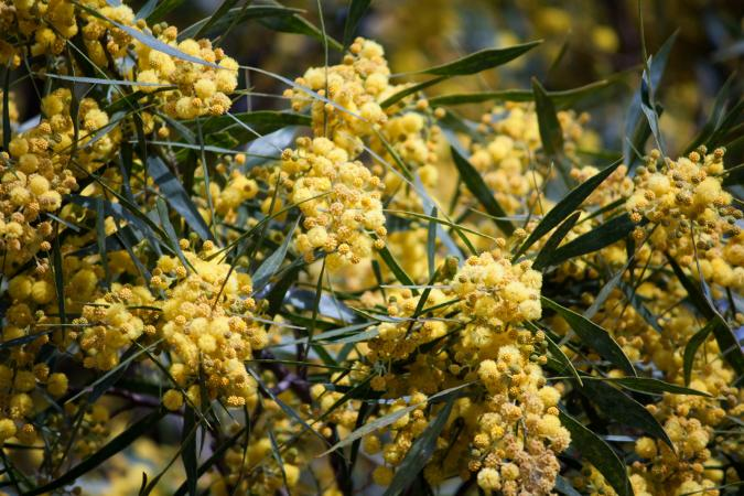 Acacia tree with golden flowers