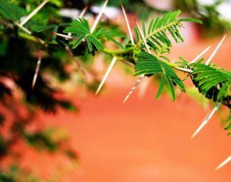 Acacia tree thorns on branch