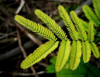 Close-up of acacia farnesiana leaves