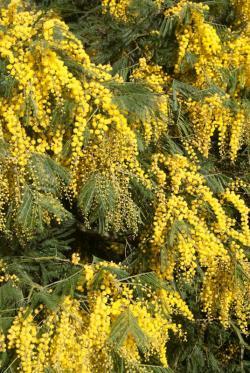 Acacia yellow blossoms