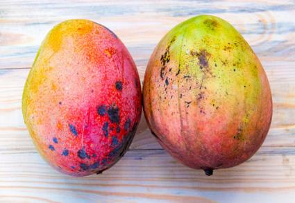 Mango with canker