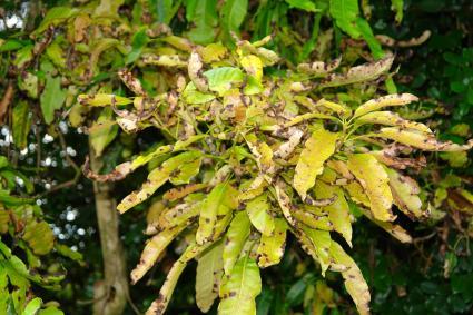 Mango anthracnose (leaf phase)