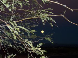 Mesquite tree in moonlight