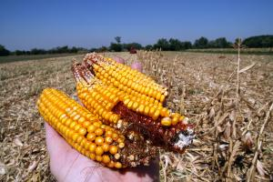 corn crop disrupted by drought