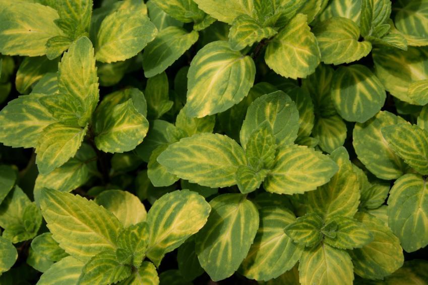 Identifying Herbs [Slideshow]