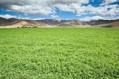 A field of alfalfa