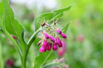 Comfrey Herb