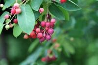wild berry identification