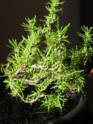 Rosemary Varieties