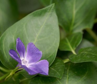 Vina major or periwinkle is a traditional herbal remedy.