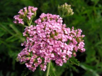 Image result for yarrow plant