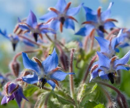 Borage with blue star-shaped flowers