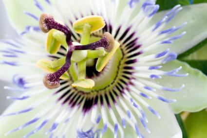 Passion Flower Extract on Passion Flower Facts  Slideshow