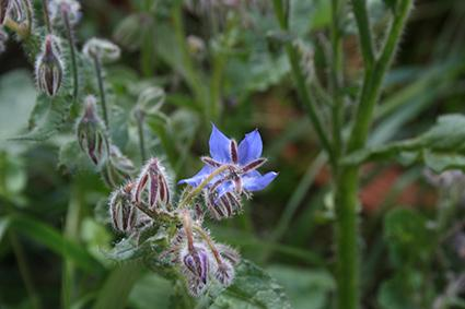 health benefits of borage oil, Skeleton