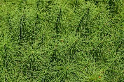 Horsetail herb