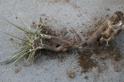 Yucca root | Photo © The Farm Chronicles