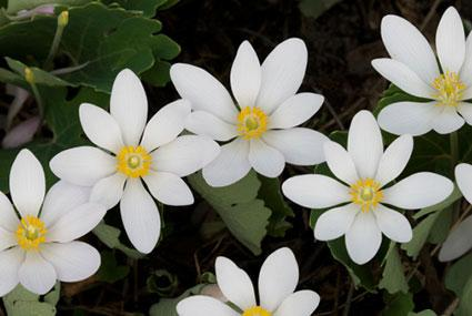 Bloodroot (Sanguinaria canadensis) in bloom