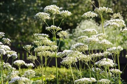 Angelica blossoms