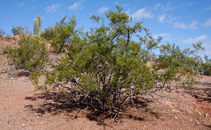 Creosote bush, Larrea tridentata