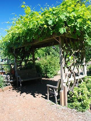 pergola and vine