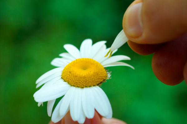 Plucking petals from a daisy