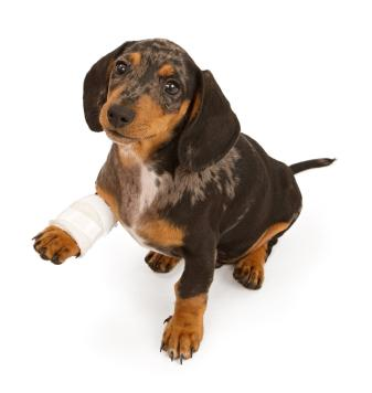 Injured puppy