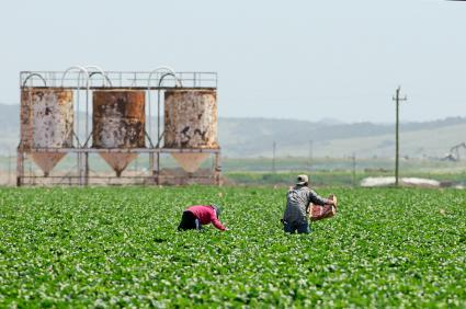 workers picking crops