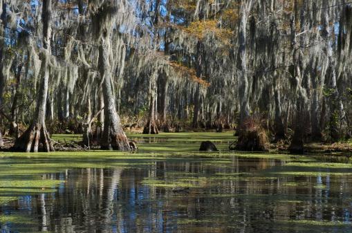 Swamp near New Orleans