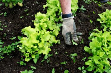 weeding lettuce