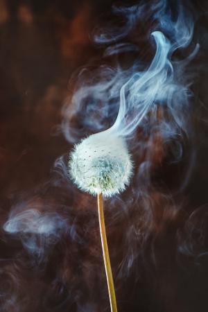 Dandelion with white smoke