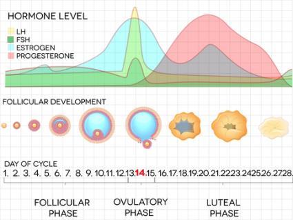 Menstrual cycle chart; © Guniita | Dreamstime.com