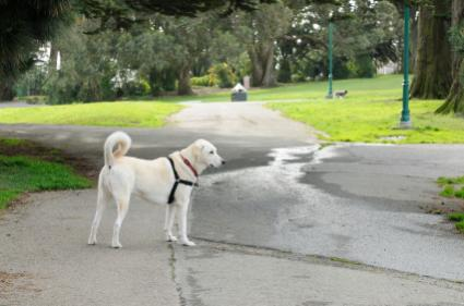 Dog off leash in Alamo Square Park