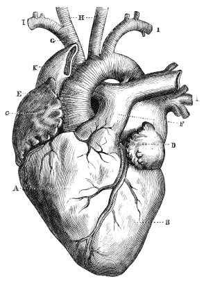 diagram of a human heart for kids, Muscles