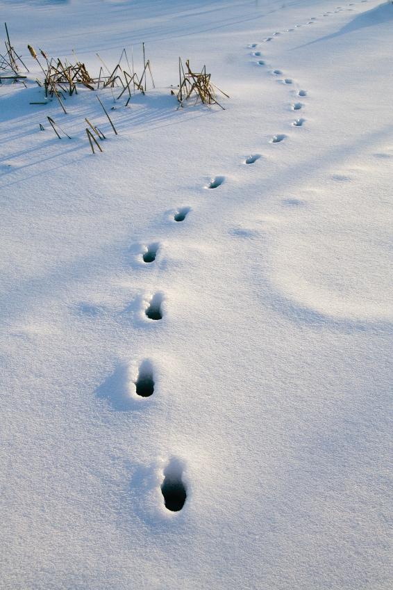 Bluestocking Redneck Deer Tracks In The Snow