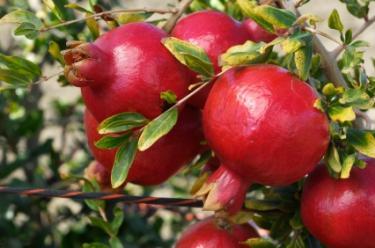 natural pomegranete