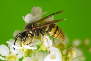 Treating a yellow jacket sting
