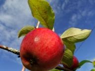 Apples for vinegar