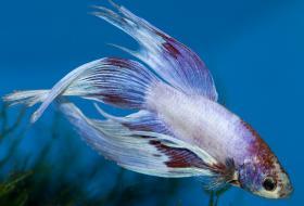 Do betta fish sleep for Male veiltail betta fish
