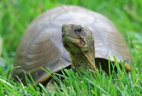 R Turtles Good Pets Pictures of Box Turtles