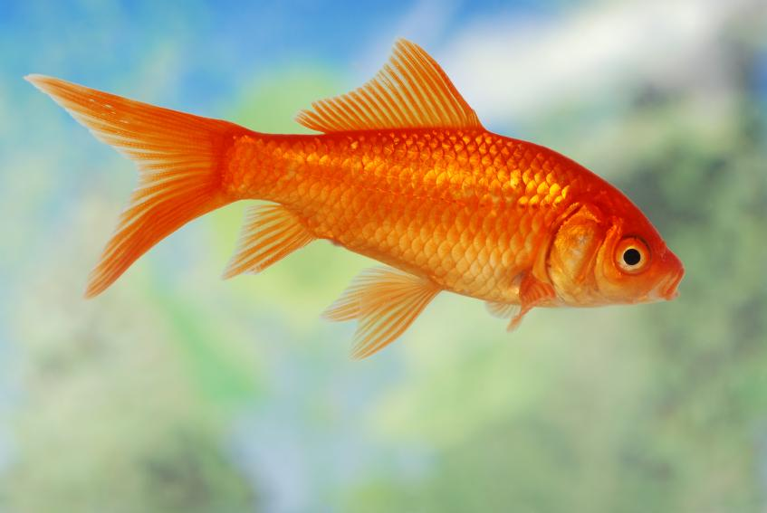 common goldfish this fish may be called common but it