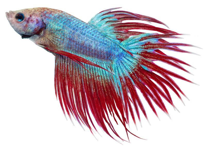 Betta Fish Quotes. QuotesGram