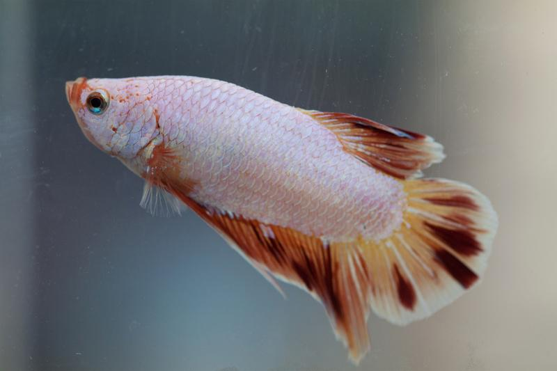 Betta fish pictures slideshow for Female betta fish pictures