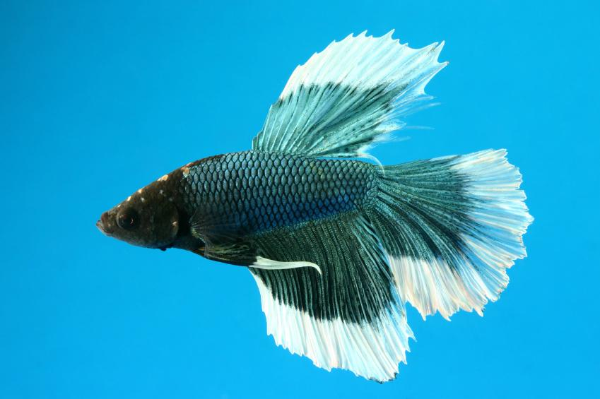 Betta fish pictures slideshow for Butterfly betta fish