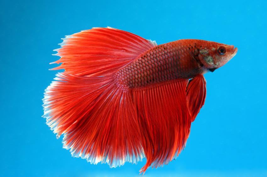 Dark red betta fish - photo#22