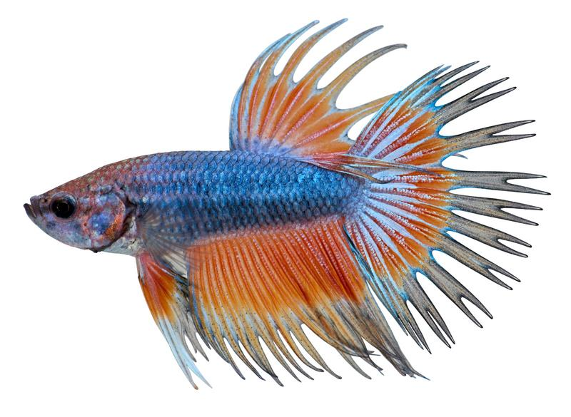 Betta fish pictures slideshow for How much are betta fish