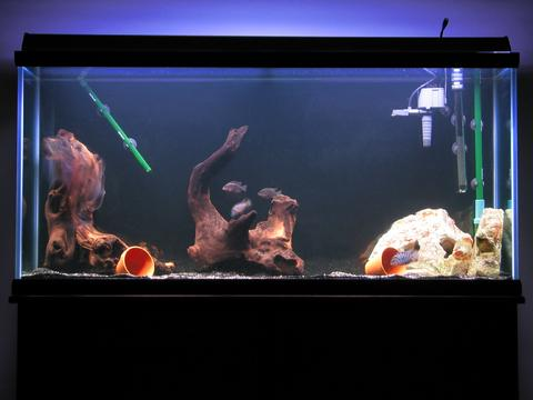 Pictures Of Oscar Fish Tank Rock Cafe