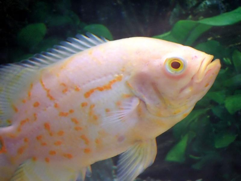 oscar fish pictures slideshow